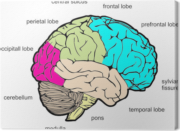 Quadro em tela human brain lateral view pixers vivemos para mudar quadro em tela human brain lateral view ccuart Gallery