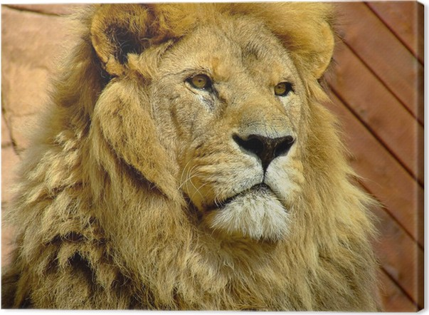 Quadro em tela old male lion panthera leo u2022 pixers® vivemos para