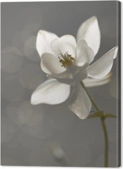 Quadros em tela premium Weiße Akelei (Aquilegia) - Trauerkarte