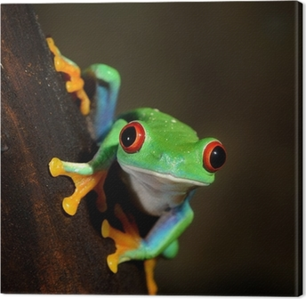 Quadro em Tela red-eye frog Agalychnis callidryas in terrarium