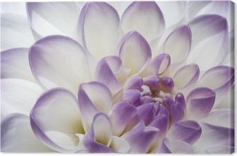 Quadro em Tela White and purple Dahlia close up