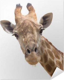 Samolepicí plakát Žirafa closeup