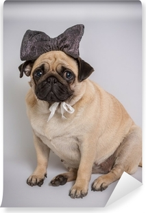 Selbstklebende Fototapete Lustige Pug / Lustige Pug auf weißem Hintergrund