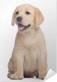 Selbstklebendes Poster Labrador Welpen, 7 Wochen alt, vor weißem Hintergrund
