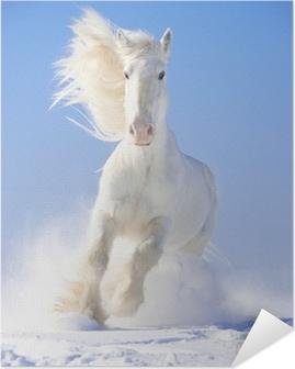 Selbstklebendes Poster Weißes Pferd Stallion läuft Galopp vor Fokus