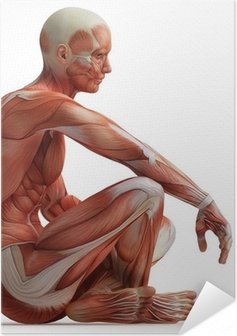 anatomy, muscles Self-Adhesive Poster