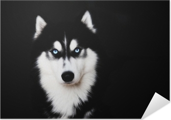 Close up on blue eyes of a dog Siberian husky Self-Adhesive Poster