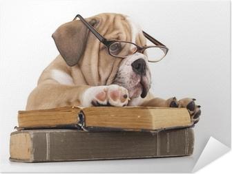 purebred english Bulldog in glasses and book Self-Adhesive Poster