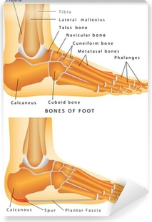 Bones of the Foot and Ankle Self-Adhesive Wall Mural