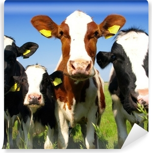Calves on the field Self-Adhesive Wall Mural