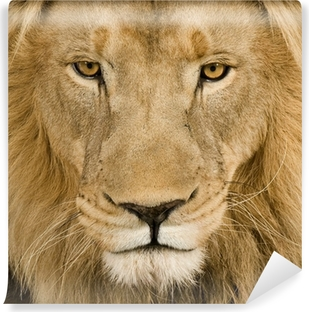 Close-up on a Lion's head (4 and a half years) - Panthera leo Self-Adhesive Wall Mural