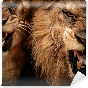 Close-up shot of two roaring lion Self-Adhesive Wall Mural