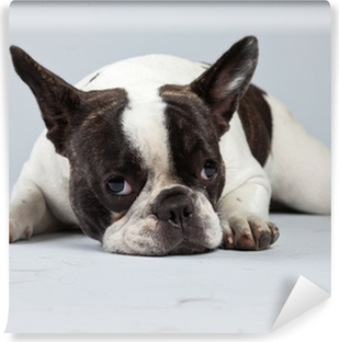 French bulldog black and white isolated against grey background. Self-Adhesive Wall Mural
