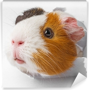 guinea pig looks through a hole in paper Self-Adhesive Wall Mural