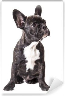 little french bulldog puppy Self-Adhesive Wall Mural