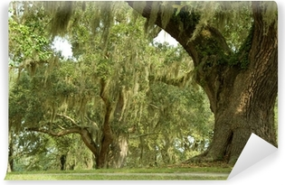 Live Oaks and spanish moss 1 Self-Adhesive Wall Mural