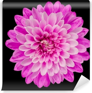 Pink Chrysanthemum Flower Isolated on Black Self-Adhesive Wall Mural
