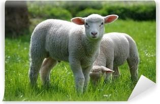 Lamm (Schaf) auf Weide Selvklæbende fototapet