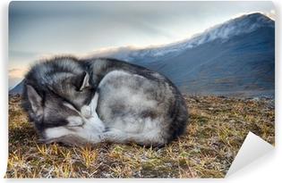 Sovende sibiriske husky i bjergene Selvklæbende fototapet
