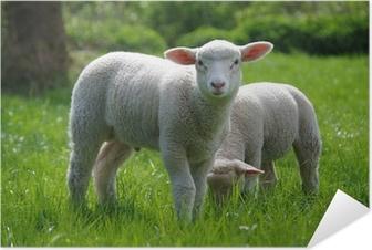 Lamm (Schaf) auf Weide Selvklæbende plakat