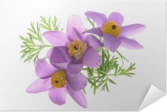 eefadf51e40 Lilla Kornblomst Blomst Isoleret På Sort Baggrund Plakat • Pixers® - Vi  lever for forandringer