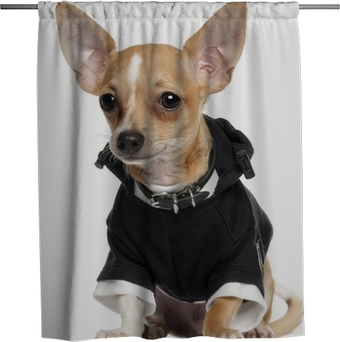 99+ Black Chihuahua Old
