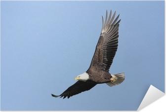 Självhäftande Poster Adult Bald Eagle (Haliaeetusleucocephalus) under flygning mot