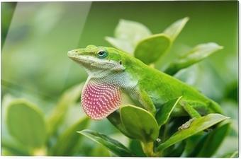 Skleněný obraz Zelená Anolis ještěrka (Anolis carolinensis) předváděl růžová lalok