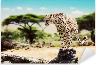 A cheetah about to attack. Safari in Serengeti, Tanzania, Africa Pixerstick Sticker