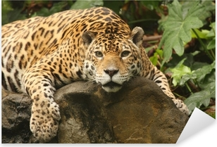 A photo of a male jaguar Pixerstick Sticker