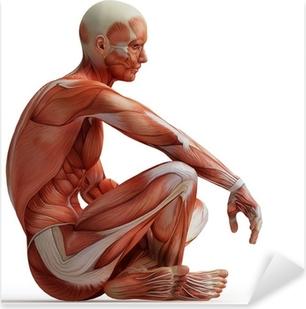 anatomy, muscles Pixerstick Sticker