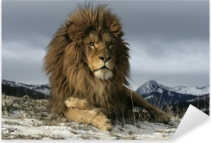 Pixerstick Sticker Barbarijse leeuw, Panthera leo leo