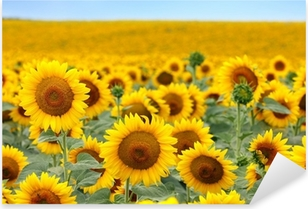 Beautiful sunflower field Pixerstick Sticker