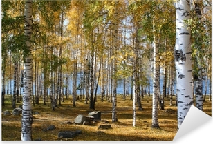 Birchwood forest in the fall Pixerstick Sticker