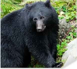 Black Bear Portrait,Vancouver Island, Canada Pixerstick Sticker