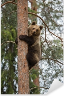 Brown bear climbing tree in Tiaga forest Pixerstick Sticker