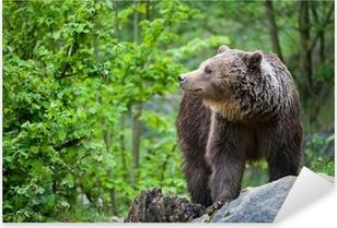 brown bear (lat. ursus arctos) Pixerstick Sticker