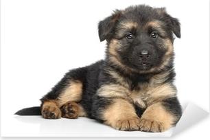 German shepherd puppy on white background Pixerstick Sticker
