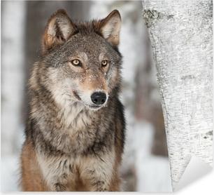 Grey Wolf (Canis lupus) By Birch Tree Pixerstick Sticker