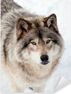 Pixerstick Sticker Grijze Wolf in de sneeuw op zoek naar de camera