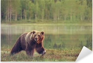 Pixerstick Sticker Grote mannelijke beer lopen in het moeras bij zonsondergang