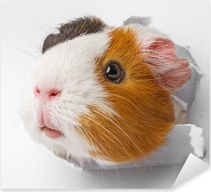 guinea pig looks through a hole in paper Pixerstick Sticker