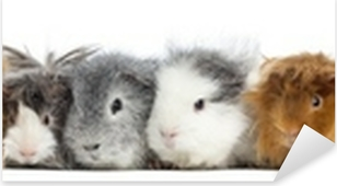 Guinea Pigs in a row, isolated on white Pixerstick Sticker