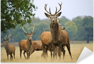 Herd of red deer stags and does in Autumn Fall meadow Pixerstick Sticker