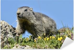 Sticker Pixerstick Jeune Alpine marmot