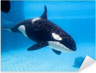 Killer whale (Orcinus orca) in an aquarium Pixerstick Sticker