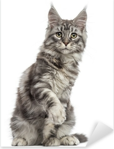 Maine Coon (2 years old) sitting, pawing and looking away Pixerstick Sticker