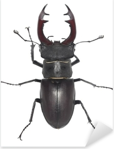 Male stag beetle, Lucanus cervus isolated on white background Pixerstick Sticker
