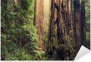 Old Redwood Trees Pixerstick Sticker