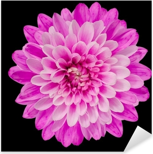 Pink Chrysanthemum Flower Isolated on Black Pixerstick Sticker